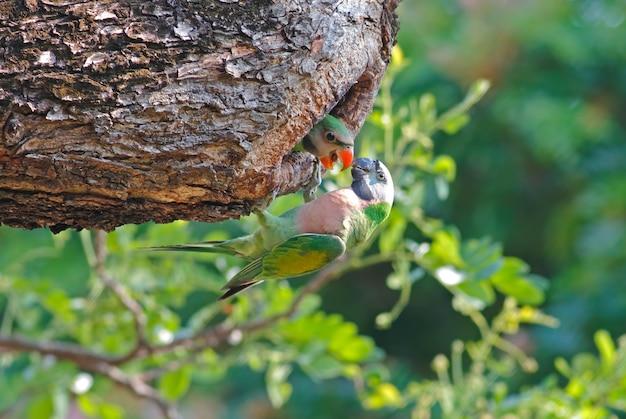 Periquito de pecho rojo psittacula alexandri hermosas aves bebé en el árbol hueco