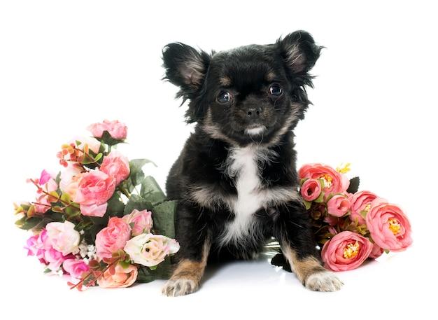 Perrito chihuahua y flores