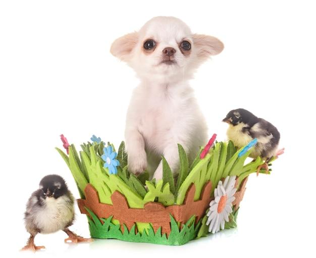 Perrito chihuahua y polluelos
