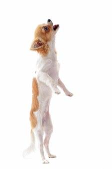 Perrito chihuahua en posición vertical