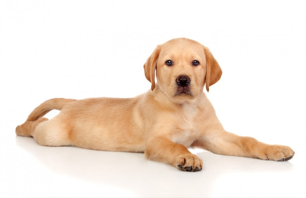 Perrito hermoso del perro perdiguero de labrador aislado en el fondo blanco