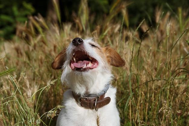 Perrito k russell perro caminando y jugando en un campo de spike o semillas de hierba peligrosas en el verano o la temporada de salto