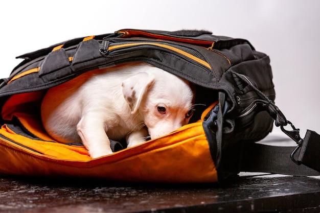 El perrito lindo se sienta en una bolsa negra y mira hacia adelante - jack russell terrier.