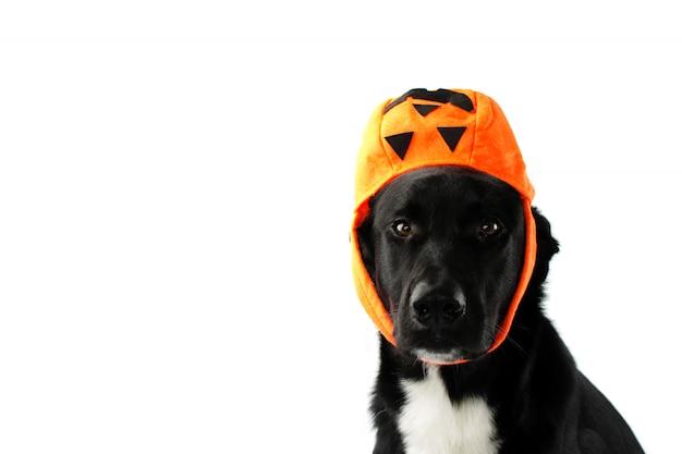 Perrito negro que lleva como sombrar una bolsa de caramelo. truco o trato divertido