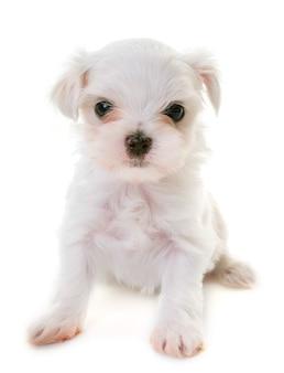 Perrito perro maltés