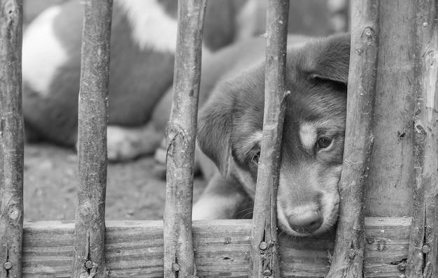 Perrito del primer en el fondo de madera de la jaula en tono blanco y negro