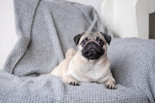 Perrito raza pug acostado en el sofá.
