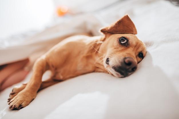 Perro acostado en la cama y mirando hacia arriba