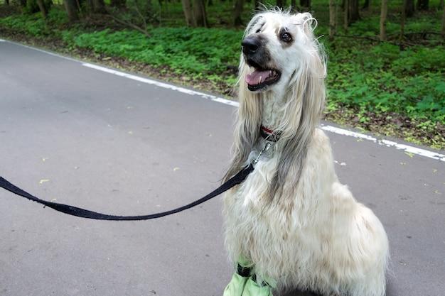 Perro afgano sentado en el camino de asfalto en el parque