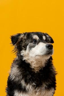 Perro de alto ángulo mirando hacia arriba sobre fondo amarillo