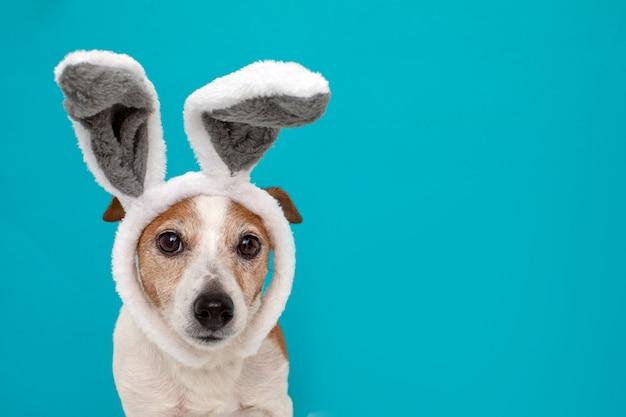 Perro asustado con orejas de conejo.
