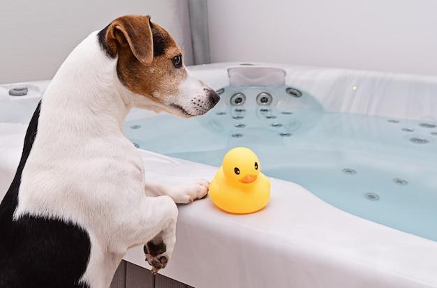 Perro se va a bañar con pato de goma amarillo.