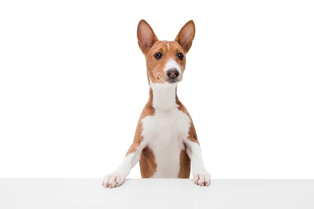Perro basenji aislado en blanco