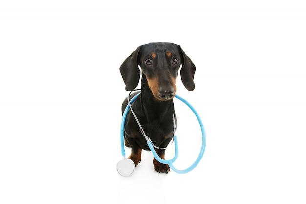 Perro basset divertido con el estetoscopio en la pared blanca.