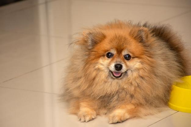 Perro bastante marrón (pomerania) con cara feliz y mirando a la cámara