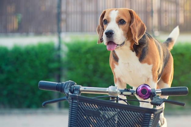 El perro beagle se para en una bicicleta con una mirada encantadora.