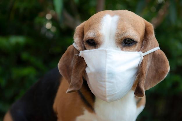 Perro beagle enmascarado vista cercana