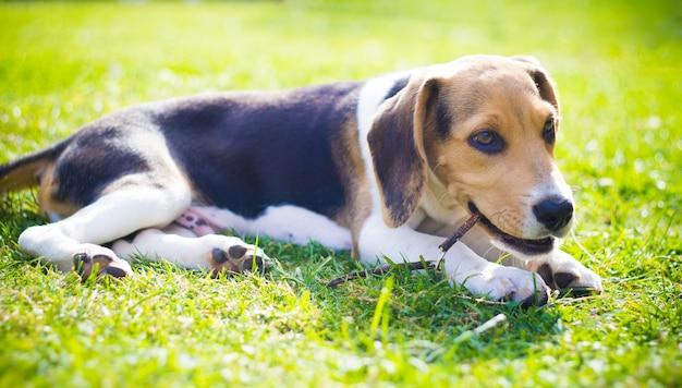 Perro beagle en la hierba comiendo palo de madera