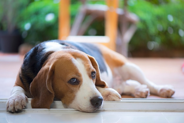 Perro beagle que parece triste y solitario