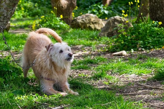 Perro beige obediente esperando ansiosamente a su dueño en la campiña maltesa.