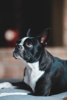 Perro blanco y negro de pelo corto