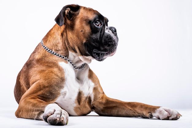 Perro del boxeador con mirada sugestiva en el fondo blanco