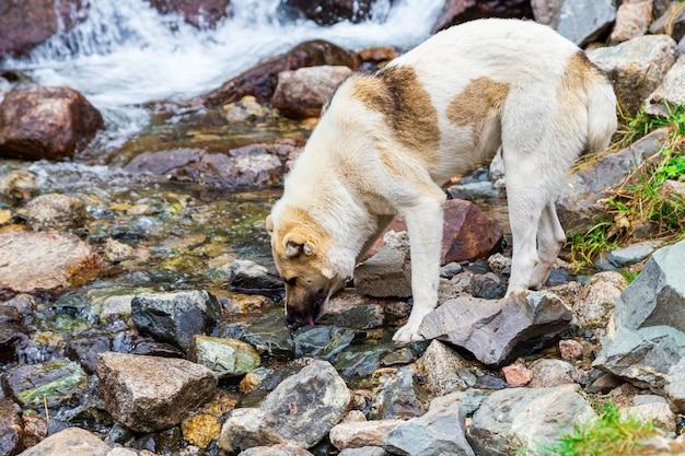 Un perro callejero bebe agua en el río.