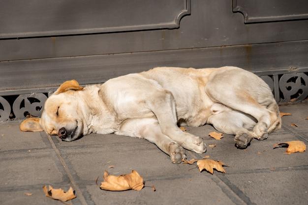 Perro callejero sin hogar durmiendo en la calle. animal