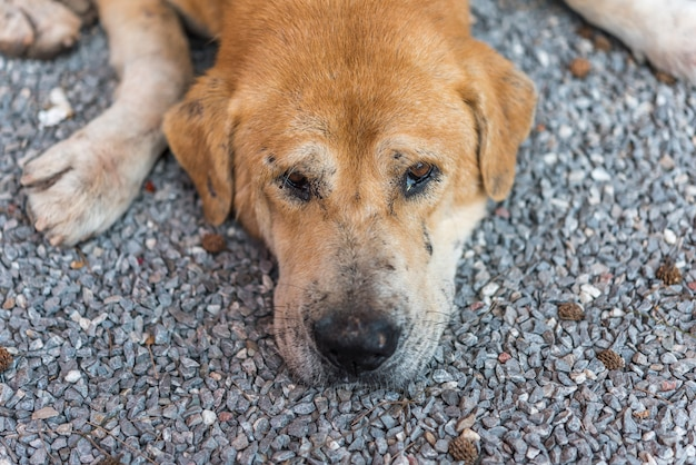 Perro callejero marrón tailandés durmiendo con solitaria y señorita