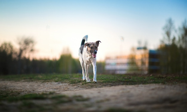 Perro callejero mestizo blanco caminando sobre una hierba verde en puesta de sol