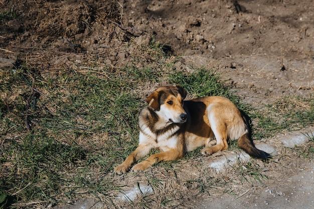 Un perro callejero solitario con una etiqueta en la oreja yace en el suelo cerca de la carretera.