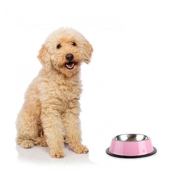 Perro de caniche agradable aislado en blanco