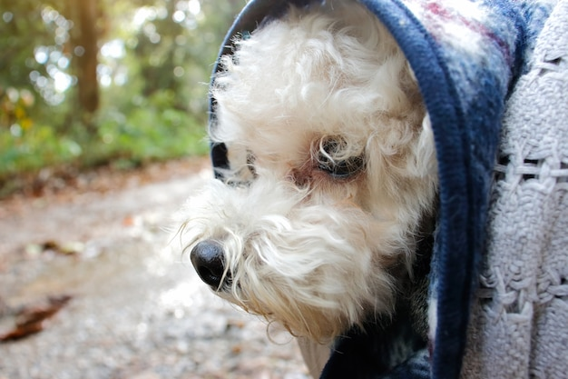 Perro caniche blanco viaje en carretera de montaña