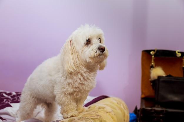 El perro de caniche divertido pone en cama con el interior humano. perro de caniche blanco mullido lindo