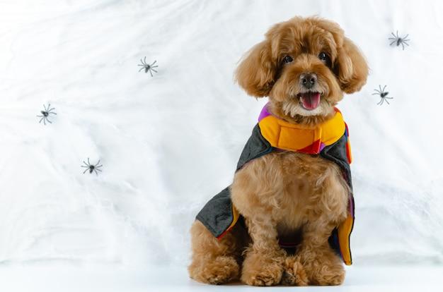 Perro caniche marrón con telarañas de araña.