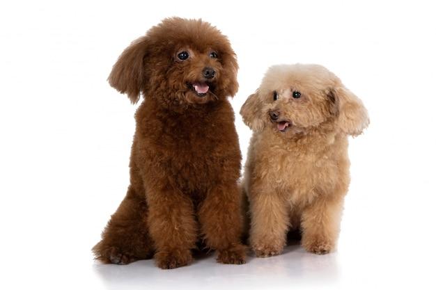 Perro caniche miniatura