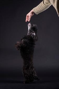 Perro caniche negro de pie atrapando comida de la mano de una persona