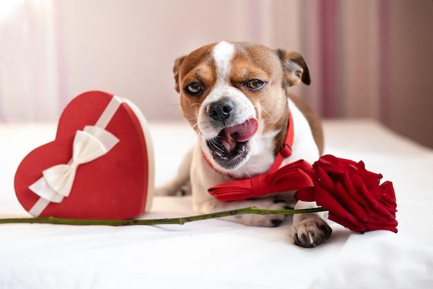 Perro chihuahua divertido en pajarita con cinta blanca de caja de regalo de corazón rojo acostado y rosa en la cama blanca. día de san valentín. boca abierta. lamer la nariz.