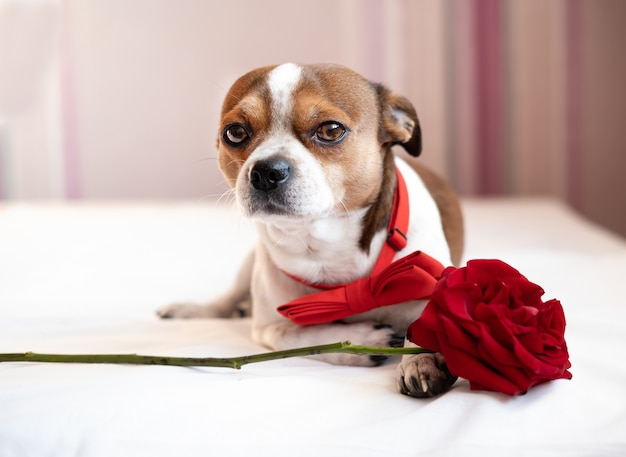 Perro chihuahua divertido en pajarita con rosa roja acostado en la cama blanca. día de san valentín.