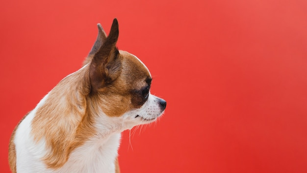Perro chihuahua de lado con fondo rojo espacio de copia