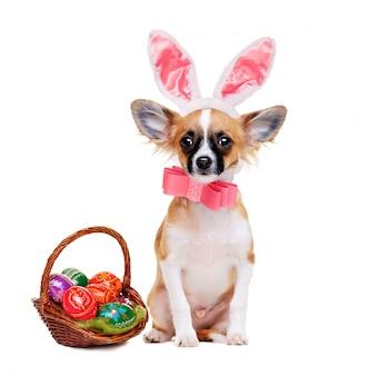 Perro chihuahua con orejas de conejo con canasta de pascua