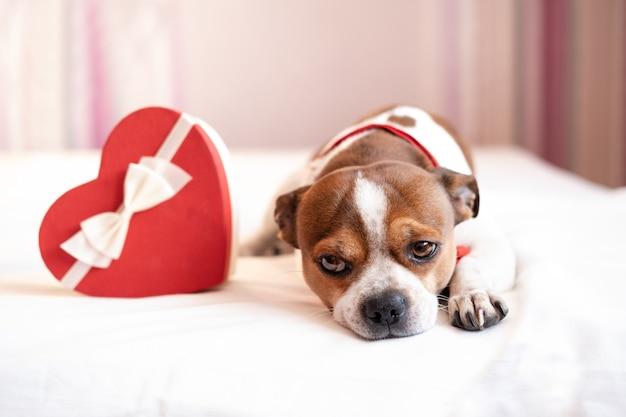 Perro chihuahua en pajarita con cinta blanca de caja de regalo de corazón rojo acostado en la cama blanca. día de san valentín. foto de alta calidad