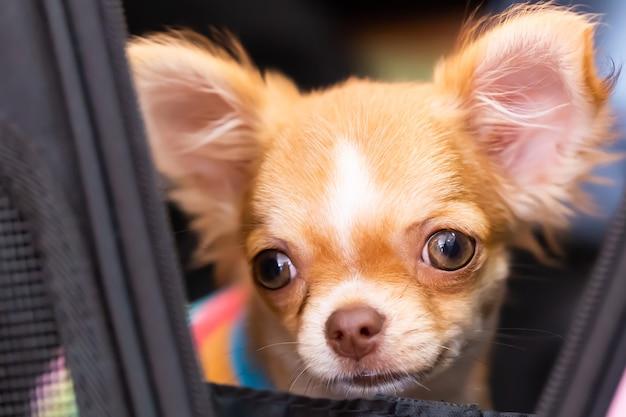 Perro chihuahua de pelo castaño.