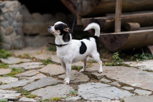 Perro chihuahua de pelo de color brillante. poses de perro mascota