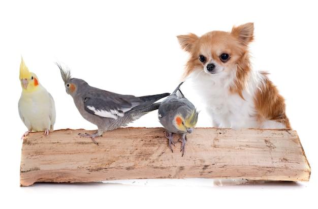 Perro cockatiel de aves y chihuahua.