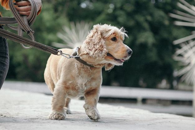 Perro cocker spaniel a pie en el parque