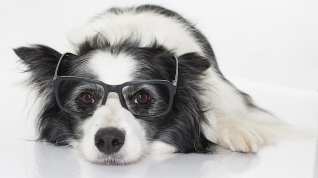 Perro collie de frontera que lleva vidrios negros aislados en el fondo blanco