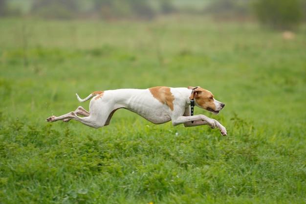 El perro corre sobre la hierba verde, el foco está en el perro, disparando con paneo.