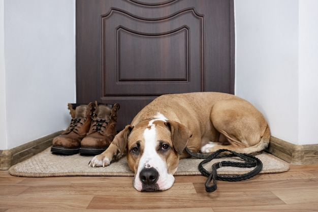 Perro con una correa esperando un paseo. staffordshire terrier perro con una correa acostada sobre un felpudo cerca de la puerta principal del apartamento.