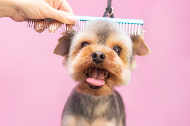 Perro se corta el pelo en pet spa grooming salon.